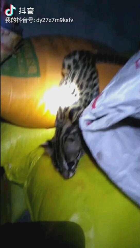 亚洲情色动物与人_亚洲豹猫吧-百度贴吧--豹猫亚洲豹猫的保护与分享技术--欢迎所有