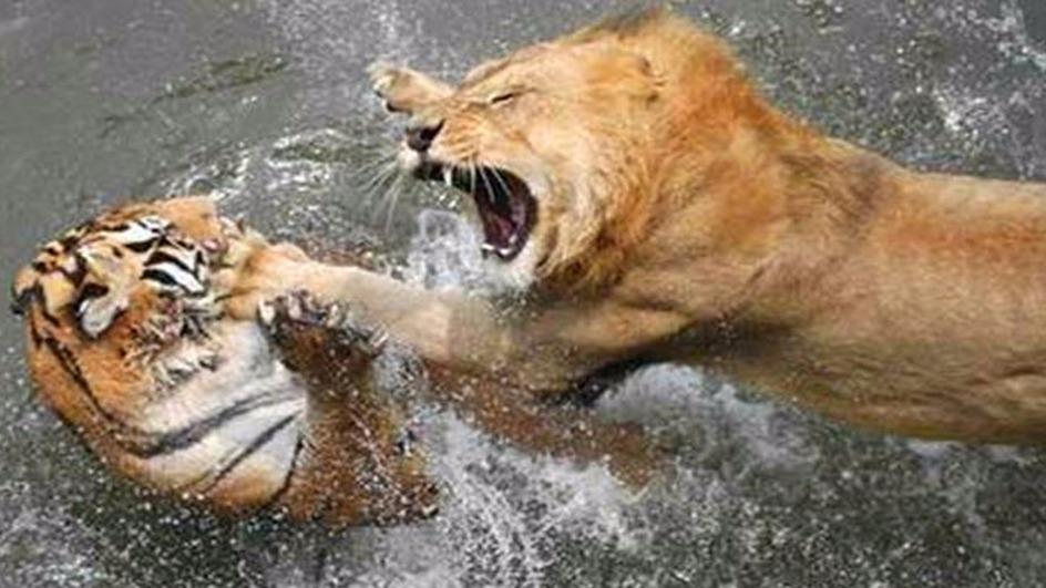 狮虎兽和虎狮兽谁大_狮虎斗吧-百度贴吧--科学解密大自然的斗兽真相。--狮虎斗吧热爱 ...