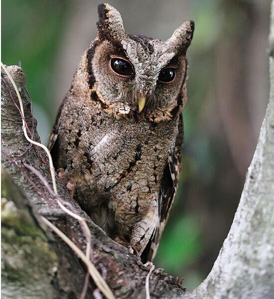 领角鸮_图一:刚出壳不久的领角鸮毛团,图二:领角鸮雏鸟,图三 ...