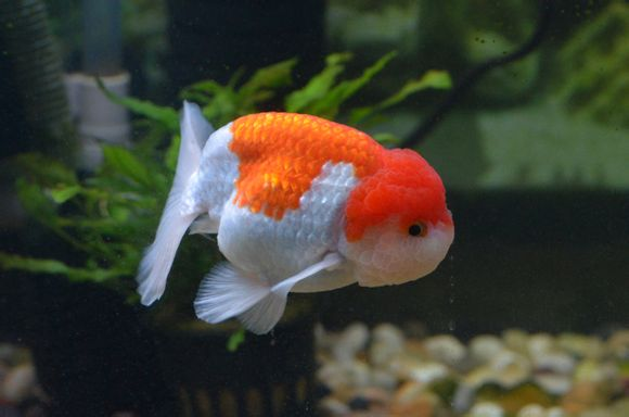蓝色兰寿金鱼图片_红白兰寿