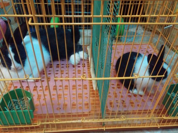 百度丫蛋死因_【图片】你们兔子会睡成这死样吗?!_兔子吧_百度贴吧