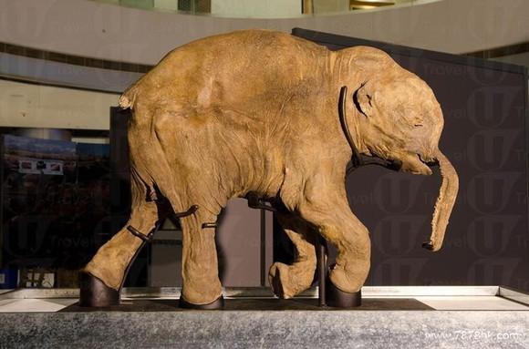 猛犸象牙化石图片_两具幼年猛犸