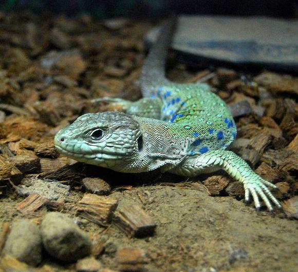 欧洲蓝斑蜥蜴_这大小还不如非洲冒险里的蜥蜴活食…………