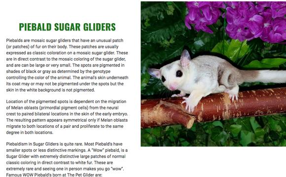 蜜袋鼯品种有哪些_宠物小蜜常见种类(蜜袋鼯基因)(图7)