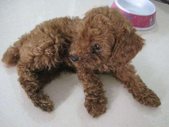 泰迪犬能吃水果吗_【图片】请教两个月的泰迪,一斤二,要吃多少克的狗粮。【泰 ...