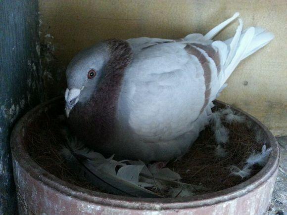 斑鸠蛋,可以让鸽子孵吗?