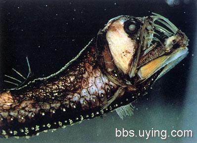 鬼吹灯中的怪物图片_这副图片是网上鬼吹灯中刀齿蝰鱼用的最多的,就是深海蝰鱼
