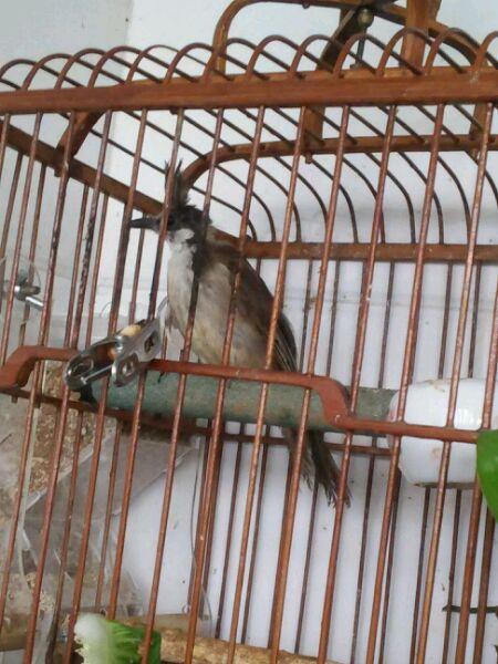 红耳鹎怎么分公母_这是什么鸟是公是母?
