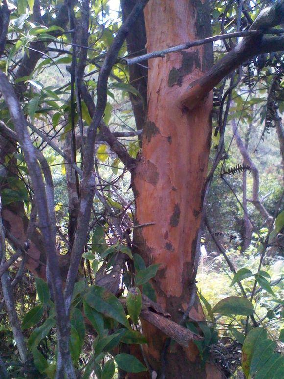 柘木盆景图片价格_回复 收起回复