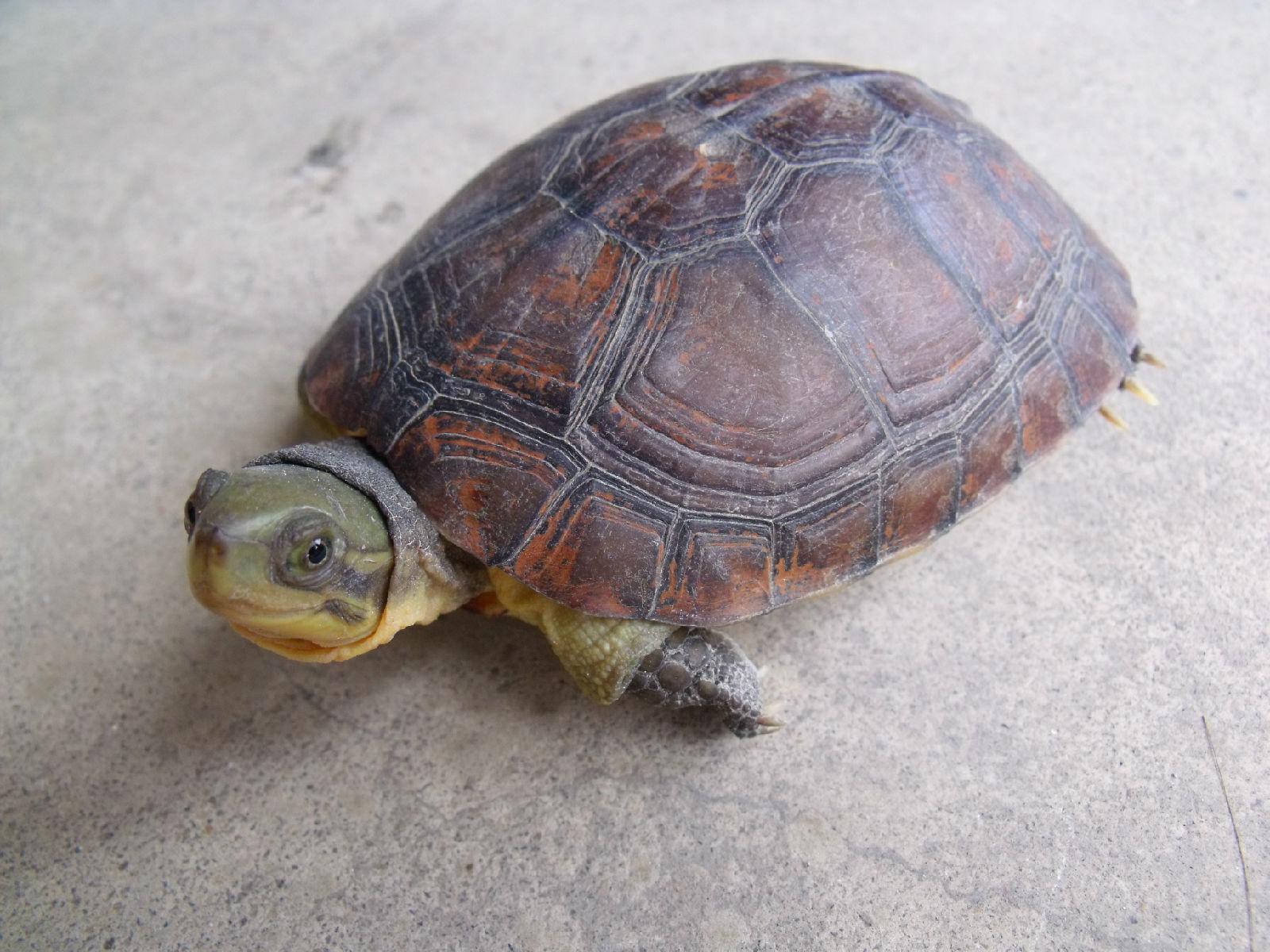 黄喉拟水龟苗的饲养_黄喉能干养吗?【乌龟吧】_百度贴吧